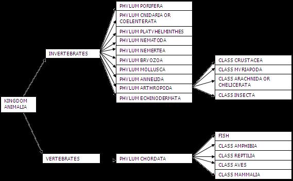 Image of: Chart Overview Of Kingdom Animalia Biology Is Fun Overview Of Kingdom Animalia Biology Is Fun